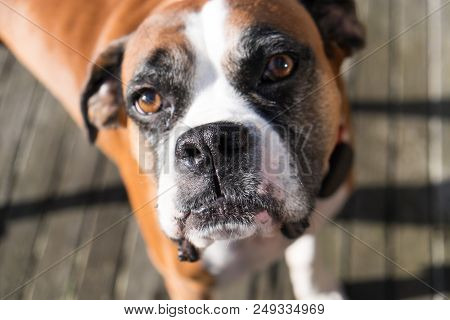 Boxer Dog With Shallow Depth Of Field - Focus Is On Nose And Mouth
