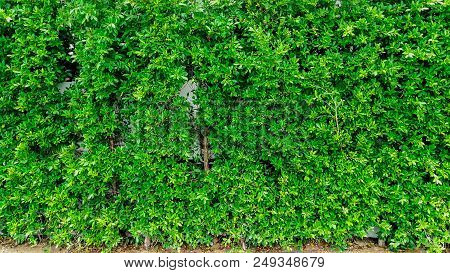 Green Leaves Texture Or Pattern Background. Green Leaves Texture Wall Background For Lanscape Design