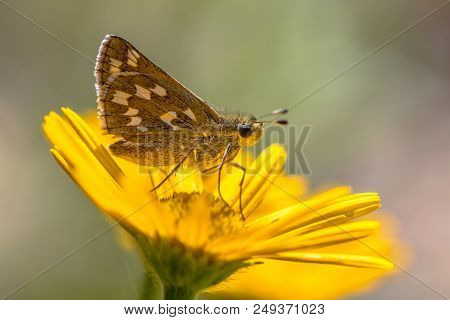 Silver-spotted Skipper (hesperia Comma) Butterfly On Yellow Aster Flower