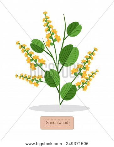 Sandalwood Poster With Herb, Banner And Headline, Aromatic Herb With Flower And Leaves, Sandalwood V