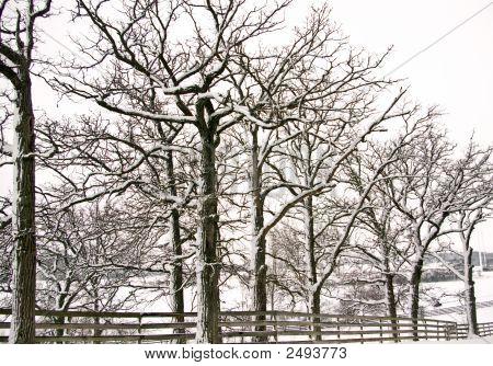 Oak Trees In The Snow