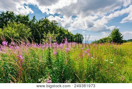 Meadow With Fireweed Near The Beech Forest. Beautiful Summer Scenery On A Warm And Cloudy Day. Lovel