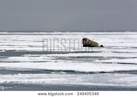 One Walrus On The Ice And One Looking Up From A Hole In The Ice, Outside Spitsbergen. Svalbard, Norw
