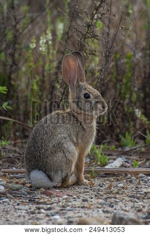 California Cotton Tail Rabbit Sitting Back But Alert Among The Bushes As He Looks Out For Predators.