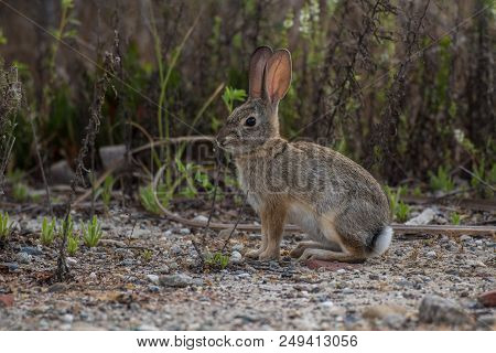California Cotton Tail Rabbit Standing Alert Among The Bushes As He Looks Out For Predators.