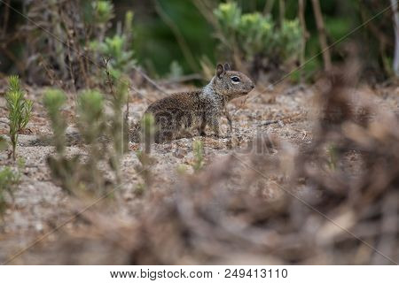 California Ground Squirrel Foraging Along The Beach Bushes For A Morning Meal.