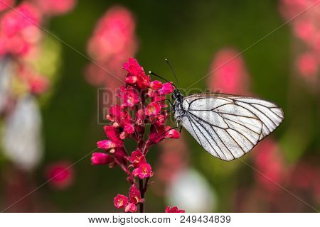 Butterflie With White Wings Are Sitting On The Stem Of A Plant - Macro