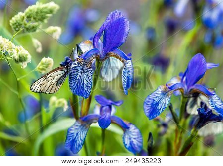 Butterflies With White Wings Are Sitting On The Iris Flower - Macro