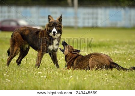 Dogs Play With Each Other. Merry Fuss Puppies. Aggressive Dog. Training Of Dogs.  Puppies Education,