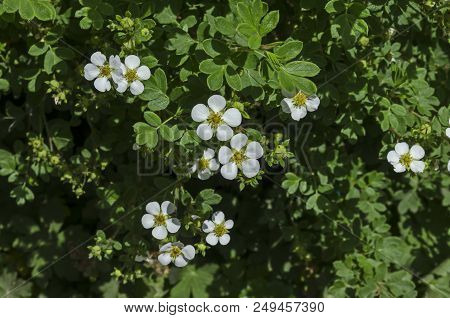 White Blossom Of Spiraea Canescens Shrub, Selective Focus, South Park, Sofia, Bulgaria