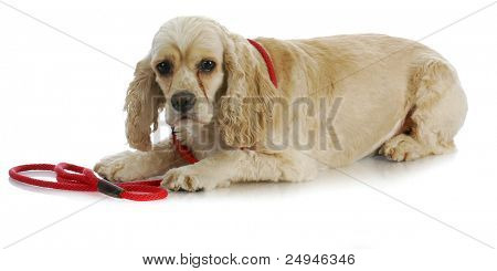 dog on a leash - american cocker spaniel laying down waiting to go for a walk on white background poster