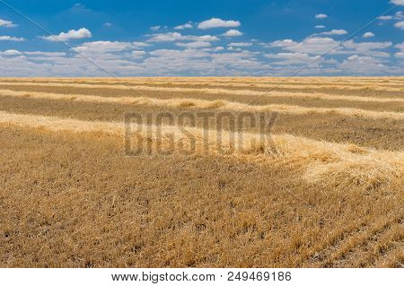 Summer Landscape With Rows Of Cut Wheat Drying Up Under June Sun
