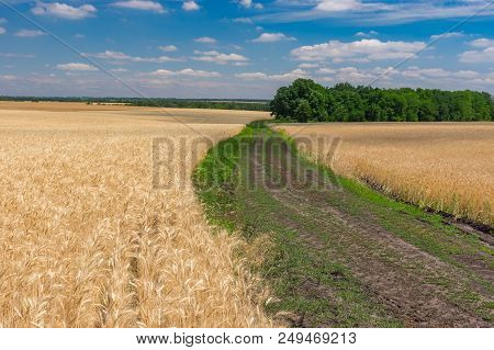 June Landscape With An Earth Road Among Ripe Wheat Wheat Agricultural Fields Near Bashmachka Village