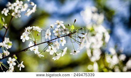 Beautiful Blossom Springtime Sunny Day Garden Landscape. Blossoming White Petals Fruit Tree Branch,