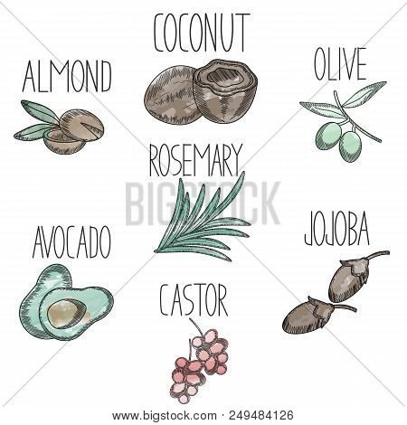 Set Of Medicinal Plants And Fruits Avocado, Castor, Jojoba, Olive, Coconut, Almond, Rosemary In Sket
