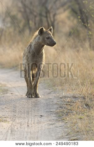 Lone Hyena Walking Along A Dirt Road Scavenging For Food