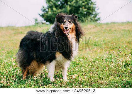 Tricolor Rough Collie, Scottish Collie, Long-haired Collie, English Collie, Lassie Adult Dog Staying