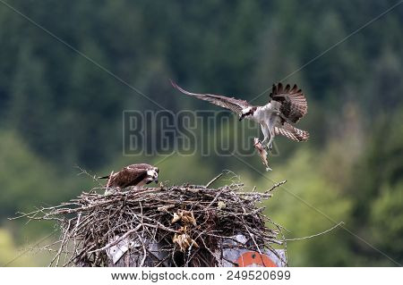 Osprey Feeding Chick In Nest