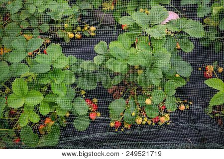 Protection Of The Harvest Of Ripe Red Strawberries Mesh On The Arcs In The Garden In The Garden. The