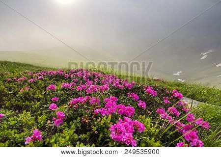 Lit by sun lavishly blooming on grassy mountain meadow dense rhododendron rue bush with bright pink flowers and green leaves under blue cloudy sky. Ecology problems and beauty of nature concept. poster