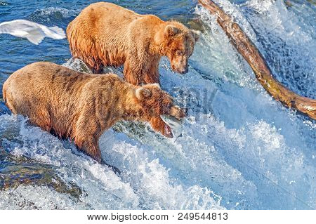 Brown Bear Catching Jumping Salmon In Mid Air At Brooks Falls, Katmai National Park, Alaska