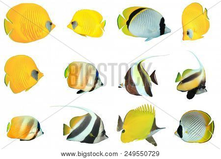 Tropical fish isolated - Butterflyfish. Collection Butterflyfish on white background