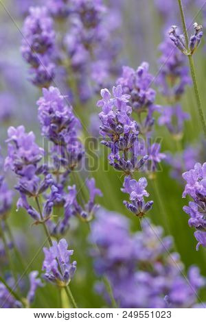 Close Up Of Several Lavendar Flower On A Lavendar Plant.
