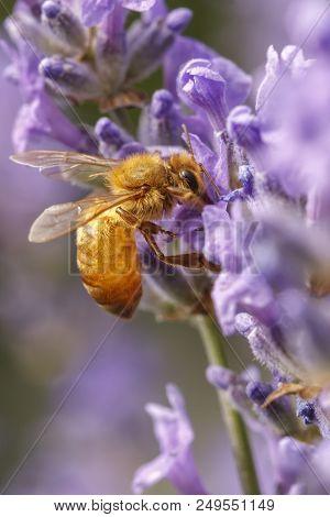 A Honey Bee, Apis, On A Lavendar Plant, Lavandula Spica.