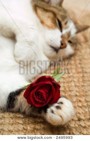 Valentine sleeping cat with red rose in paw poster