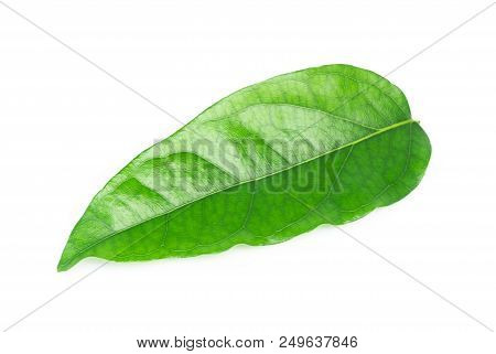 Green Tiliacora Triandra Leaf Isolated On White Background, Herb And Medical Concept
