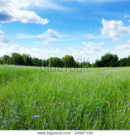 Wheat field and blue cornflowers on summer day.