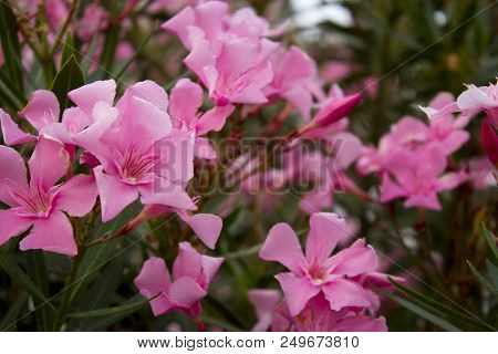 Oleander Or Nerium Oleander Blossoming Branches With Pink Flowers Close Up Photography.