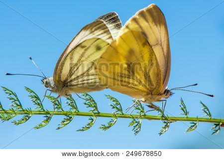 Two Copulating Butterflies Sitting On A Twig On A Blue Background