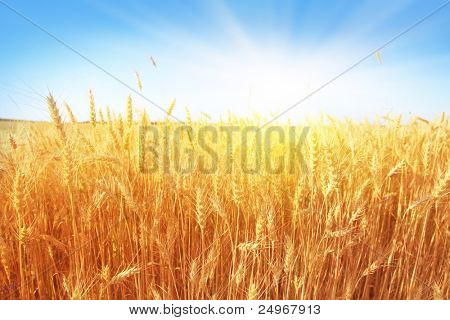 Wheat field and blue sky with sun.