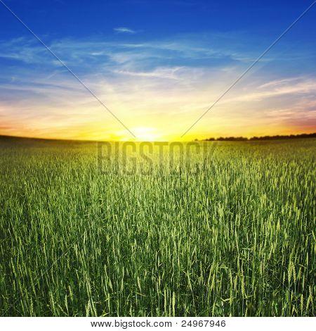 Beautiful sunset and wheat field.