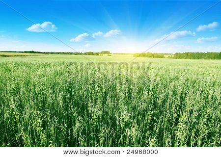 Oat field on summer day.