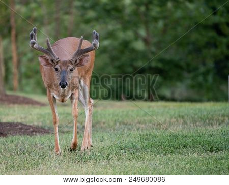 Large White-tailed Deer Buck With Velvet Antlers Walking Towards Camera In Summer