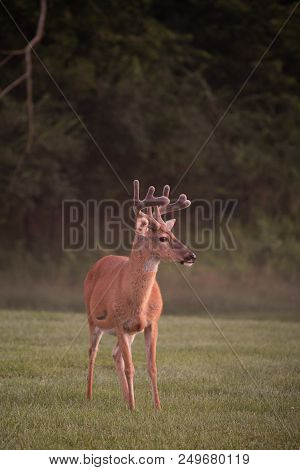 Large White-tailed Deer Buck In Summer