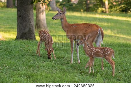 Whitetail Doe And Two Fawns