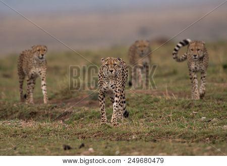 Four Cheetahs Hunting In Masai Mara Game Reserve In Kenya