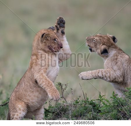 Two Lion Cubs Playing In Masai Mara Game Reserve