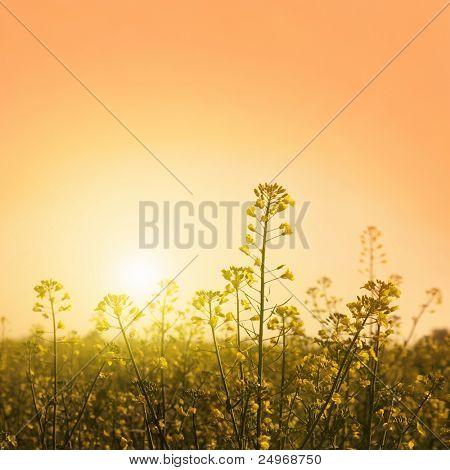Canola field at twilight.