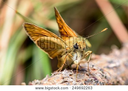 The Essex Skipper (thymelicus Lineola) - Orange Butterfly In Family Hesperiidae - European Skipper -