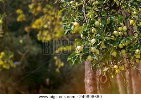 Apple tree with green apples in evening sun