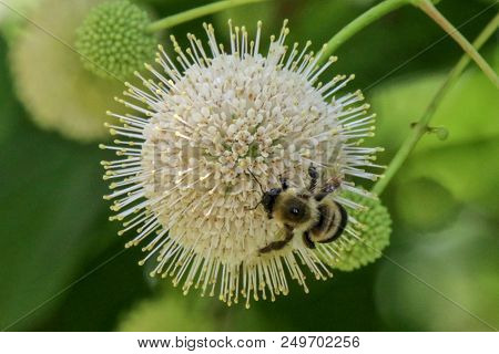 Close-up Of A Bumble Bee On A Button Bush With Green Background