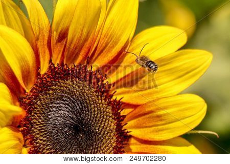 Close-up Of A Bee In Flight To A Sunflower