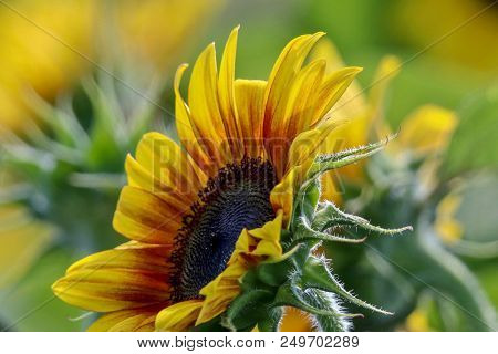 Close-up Of A Sunflower Facing Up Toward The Sun