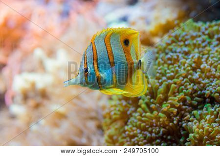 Colorful yellow butterfly fish in salt water marine aquarium