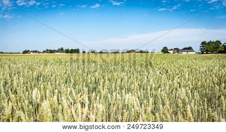 Ripening Wheat Field. Early Green Wheat. Picturesque Pastoral Landscape. Stock Photo.