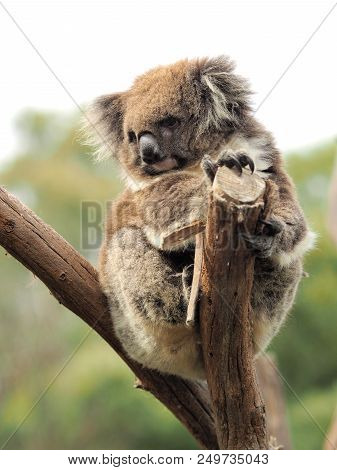 Koala Phascolarctos Cinereus On A Tree Stump Holding Look Out And Looking Very Cute To The Side, At